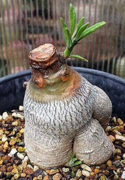 1906succulentum23cocolog