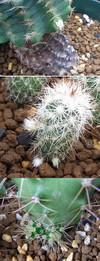 Echinocereus1206cocolog