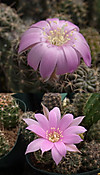 Lwrightianaflowers1304cocolog