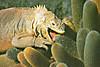 Iguana1309cocolog