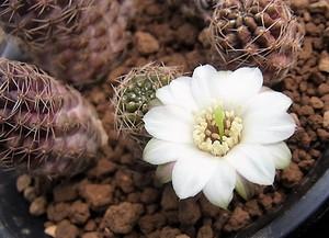 Leucanthema1704cocolog