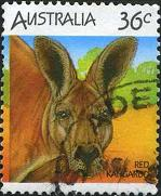 211 Red Kangaroo