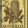 Banksia serrata