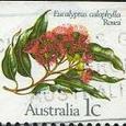 Eucalyptus calophylla 'Rosea'