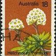 Helichrysum thomsonii