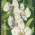 Phalaenopsis rosenstromii