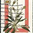 Celmisia asteliifolia