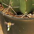 ヤマトハキリバチと真珠