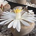 シマハナアブとリトープスの花