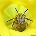 ロスラーツムの花と蜂