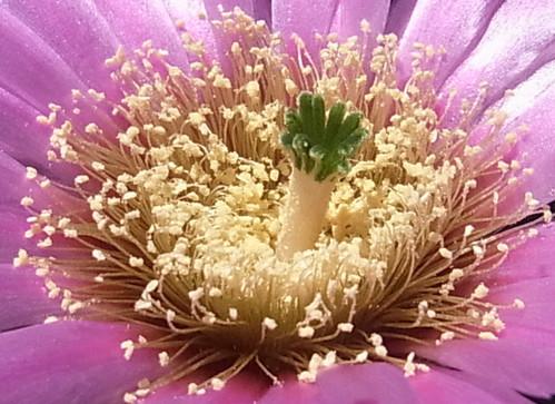 Echinocereus_reichenbachii_v_perbellus