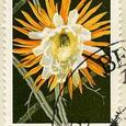 Selenicereus grandiflorus 1970