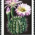 Echinopsis multiplex 1974