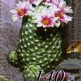 Mammillaria isularis Gates 2004