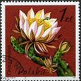 Cereus tonduzii 1981