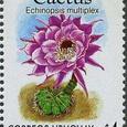 Echinopsis multiplex 2000