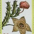 Stapelia variegata 1974