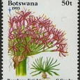 Boophane disticha 1993