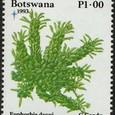 Euphorbia davyi 1993