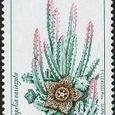 Stapelia variegata 1998