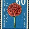 Haemanthus multiflorus 1966
