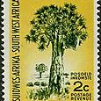 Aloe dichotoma 1961