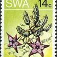 Stapelia pedunculata 1973