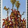 Aloe pearsonii 1981