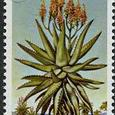 Aloe littoralis 1981