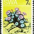 Conophytum gratum 1973