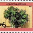 Euphorbia golosana 2003