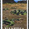 Welwitschia mirabilis 2000