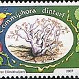 Commiphora dinteri 2007
