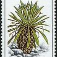 Euphorbia bupleurifolia 1981