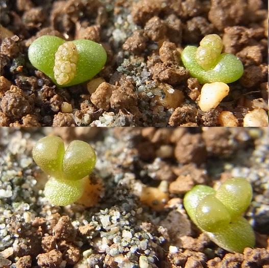 Titanopsis1412cocolog