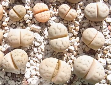 Ruschiorum1512cocolog