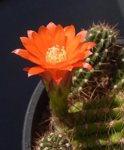 Miniatiflora1603cocolog