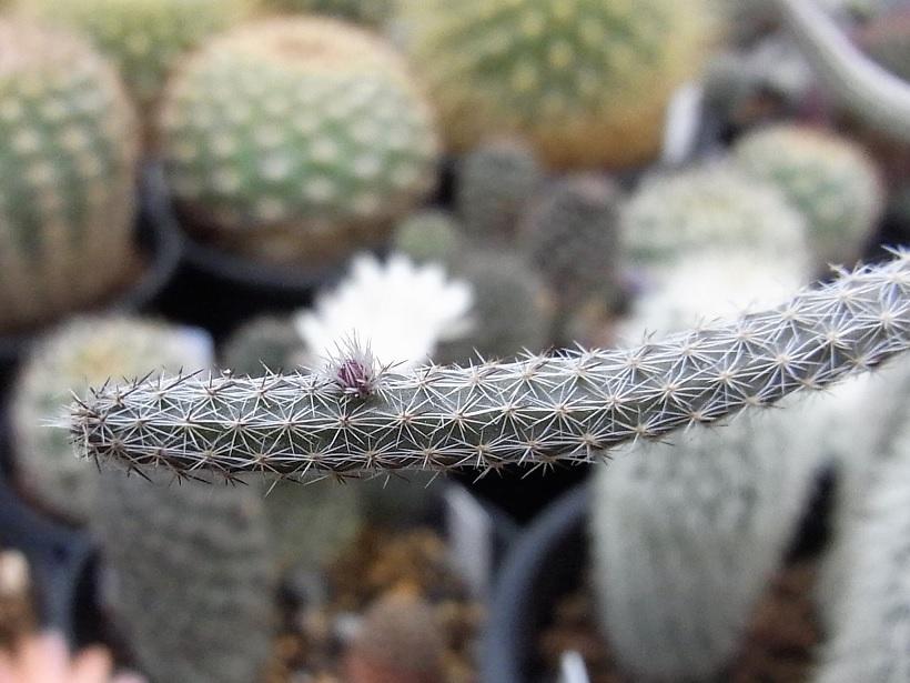 Leucanthus1705cocolog