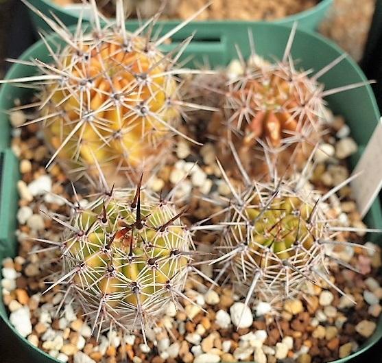 1805aureaalbidifloracocolog