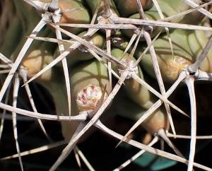 2004triglochidiatus2cocolog