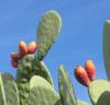 Prickly_pears