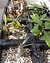 Pachypodium1310cocolog
