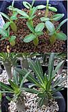 Rosulatum1307cocolog