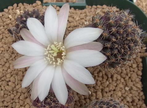 Leucanthema1504cocolog