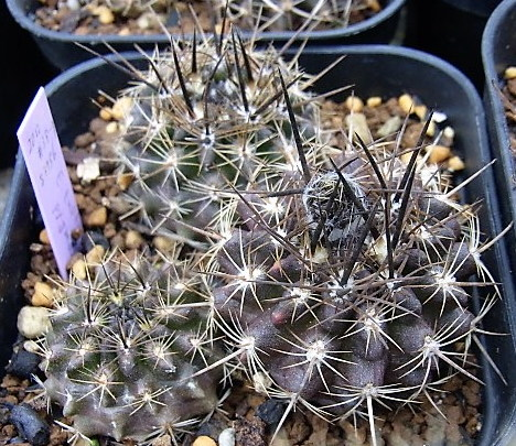 Pygmaea1705cocolog
