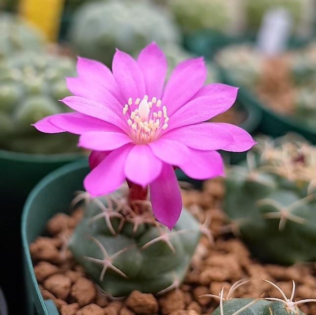 1804roseifloracocolog_2